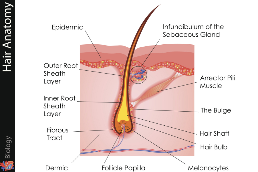 List Of Synonyms And Antonyms Of The Word Hair Strand Anatomy